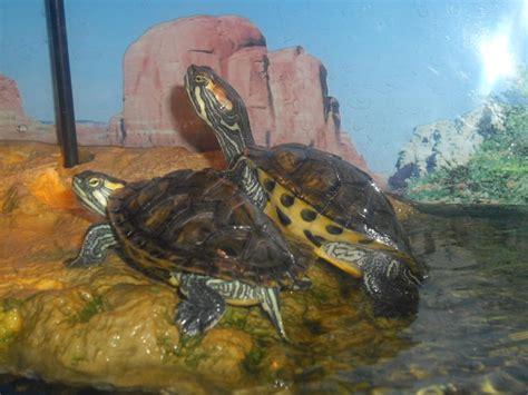 tortues d eau galerie la tortue facile