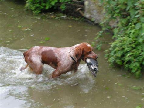 chien cuisine l épagneul breton magazine cheval monchval mag bien