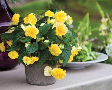 begonia care what the beautiful begonias need to thrive fresh design pedia