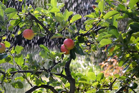 Apple Tree Wallpapers Download HD Images for Free