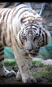 Bengal White Tiger by charfade on DeviantArt