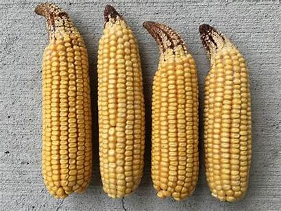 Tip Dieback Osu Corn Tipping Thomison Source