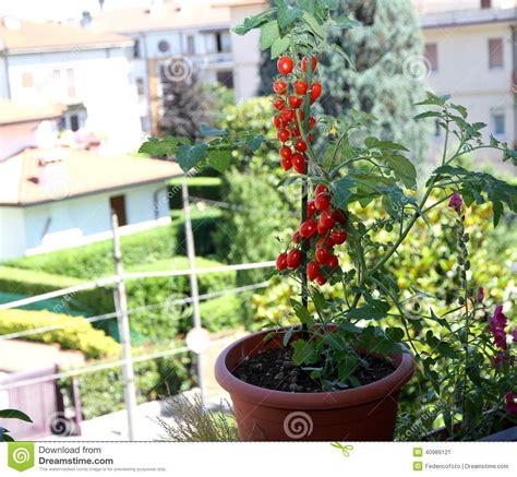tomates rouges dans des pots sur le balcon de la terrasse d une maison dedans image stock