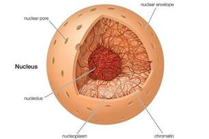Nucleus Animal Cell Structure