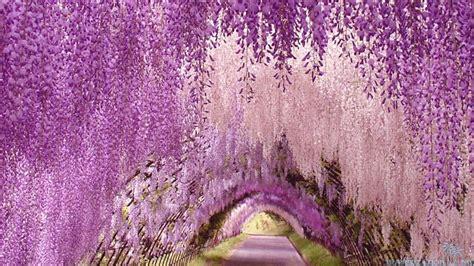 japanese wisteria tunnel wisteria tunnel ashikaga flower park japan this island earth pinterest gardens