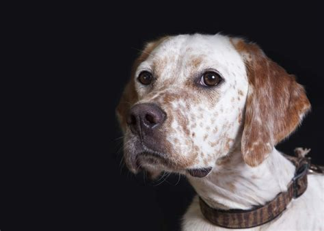 english setter dogs breed information omlet