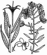 Lavender Flower Coloring Pages Drawing Preschooler Getdrawings sketch template