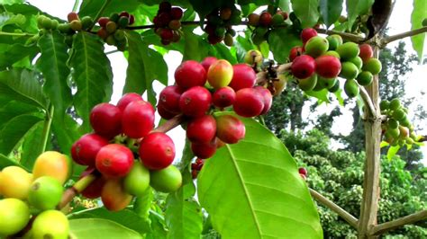 The name coffee is thought to come from caffa, an abyssinian province. Wild Growing Coffee Versus Farm Raised Plants | Coffea ...