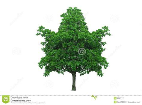 how to shape a maple tree maple leaf shape tree stock image image 25977111