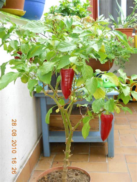 culture poivron en pot piment sympa