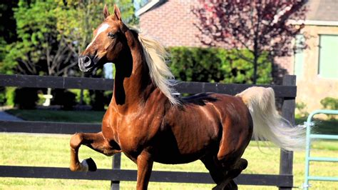 saddlebred american horse breed america saddlebreds main beauty