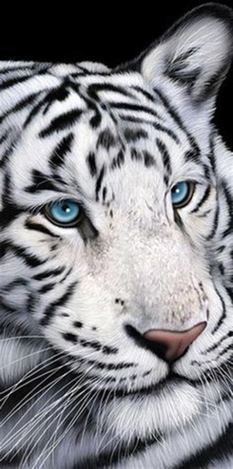 Images About Tigers Pinterest White