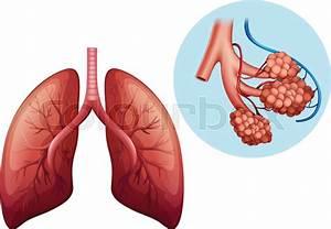 Human Anatomy Of Human Lung Illustration