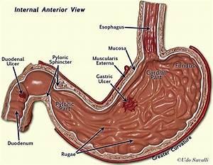 Internal stomach labeled | A&P.5.Stomach & Kidneys | Pinterest