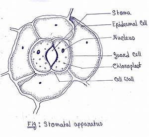 Draw A Diagram Of Stomatal Apparatus Found In The