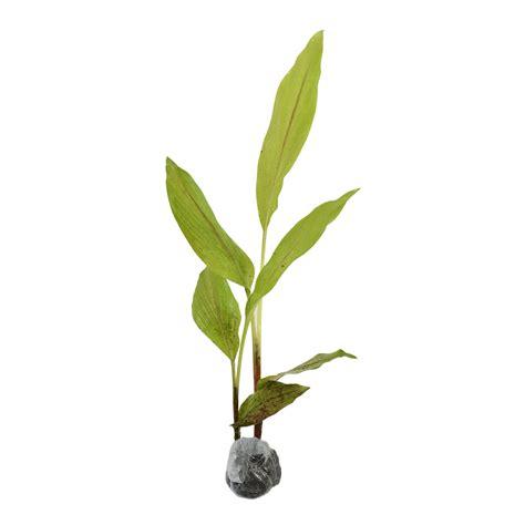 tanaman temulawak
