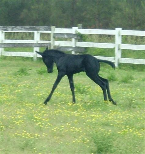 mule gaited draft mules horses donkeys iridescent spotted she shade jet rich deep solid collect windmills horse later zebras