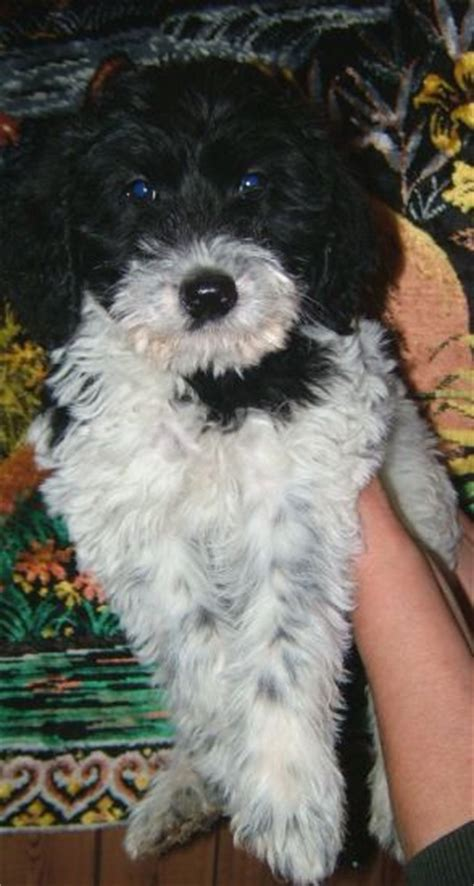 pictures  schnoodle puppies