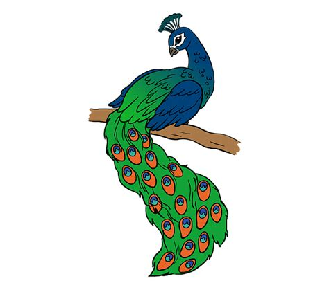 simple colorful peacock drawing    clipartmag