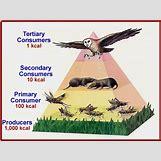 Grassland Energy Pyramid | 447 x 335 gif 40kB