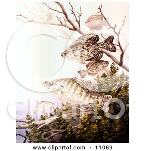 royalty  rf crappie fish clipart illustrations