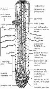 Aufbau Der Zwiebel : wurzel kompaktlexikon der biologie ~ Lizthompson.info Haus und Dekorationen