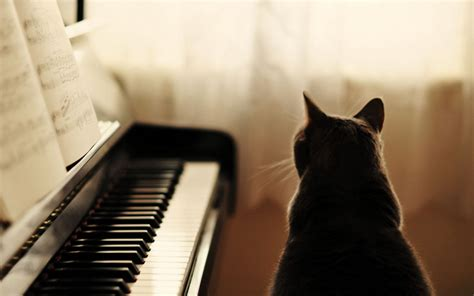 cat piano cat piano wallpaper high definition high quality