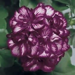 ivy geranium  plants kaw valley greenhouses