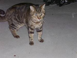 LOST MARBLED TABBY CAT - Michigan Humane Society