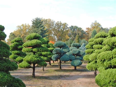 growing area pom junipers and blue cypresses