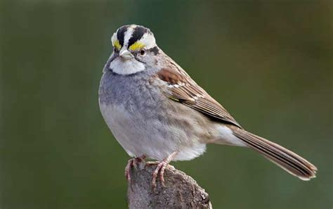 wwc bird crew blog bird profile white throated sparrow