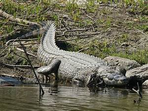 Man-eating Nile crocodiles are found in Florida; is an ...
