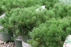 Dwarf Evergreen Pine Shrubs