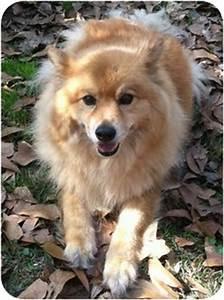 Casey RDV   Adopted Dog   RDV029   Hartford, CT   Finnish ...