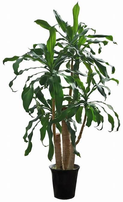 Plants Tree Transparent Cutout Psd Plant Indoor