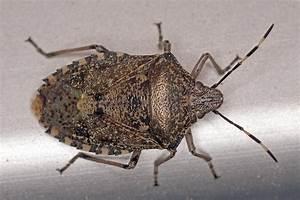 Wanzen Bekämpfen Balkon : rhaphigaster nebulosa graue gartenwanze baumwanzen pentatomidae ~ Orissabook.com Haus und Dekorationen