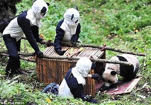 The cruel truth of China's panda factories   Daily Mail Online
