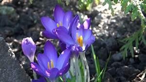 Garten Im März : blumen im garten 10 m rz 2013 youtube ~ Lizthompson.info Haus und Dekorationen