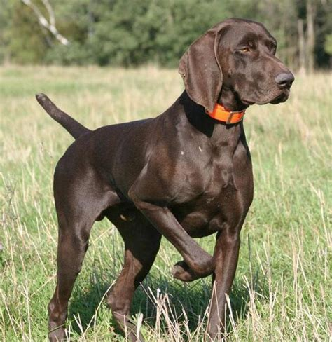 About Dog German Shorthaired Pointer