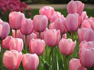 Tulpen Im Garten : 10 tipps f r sch nere tulpen mein sch ner garten ~ A.2002-acura-tl-radio.info Haus und Dekorationen