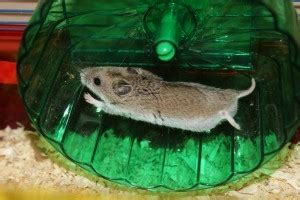 hamster anatomy body parts healthy  problem