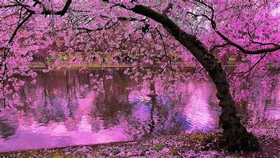 Pink Cherry Trees Water Japan Spring Blossoms