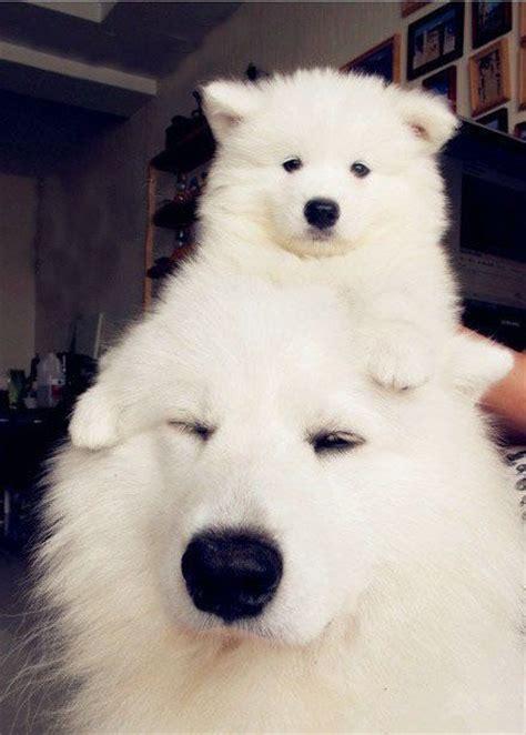 25 Best Ideas About Samoyed Puppies On Pinterest