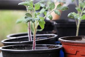 Tomaten In Der Wohnung : tomaten in der wohnung anbauen so klappt 39 s auf der ~ Lizthompson.info Haus und Dekorationen