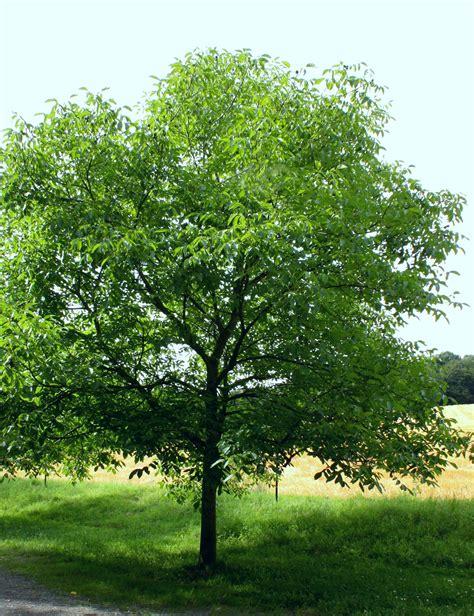 Im Garten Wuchs Der Baum by Die Echte Walnuss Nachgeharkt