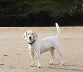 Talbot - Dog Breed Standards