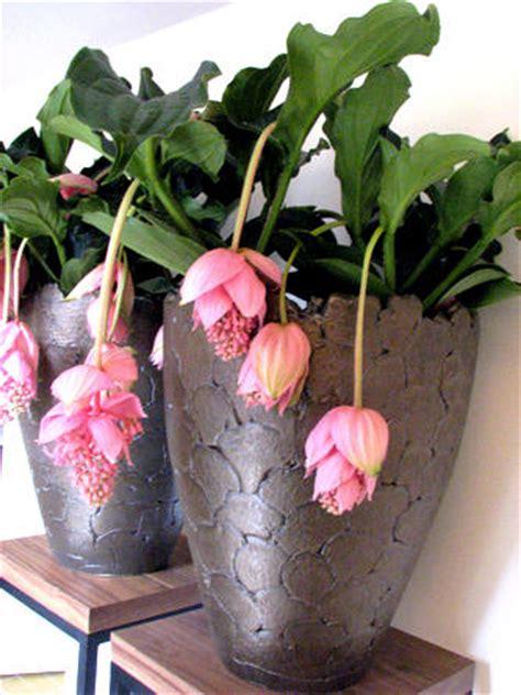 kamerplant met rose bloemen medinilla magnifica medinilla verzorging van bloeiende