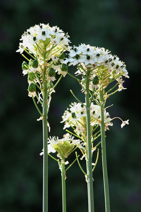 Fleurs Blanches Longues Tiges