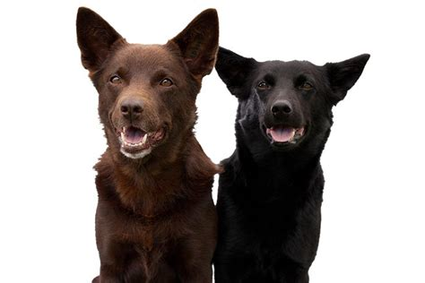 australian kelpie dog breed information american kennel club