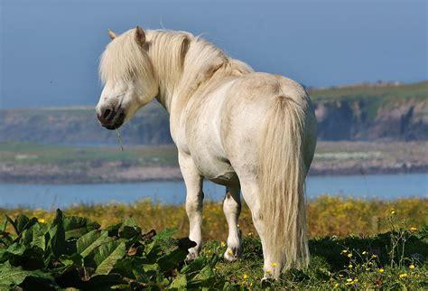 shetland pony wikipedia